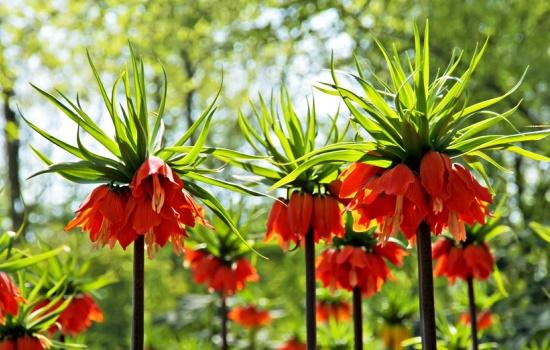 Рябчик: выращивание и уход. Правильная посадка многолетника, уход за рябчиками в саду (фото)